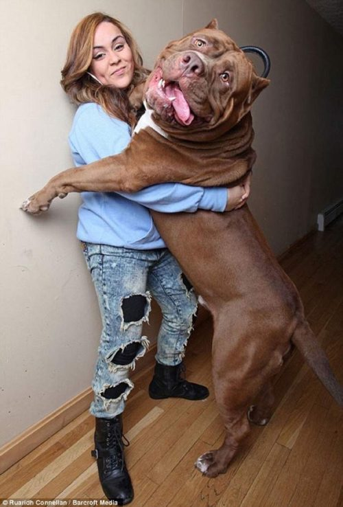 37B627C500000578-3765033-Giant_pit_bull_Hulk_is_just_as_tall_as_his_handler_Frances_Cummi-m-46_1472574895583