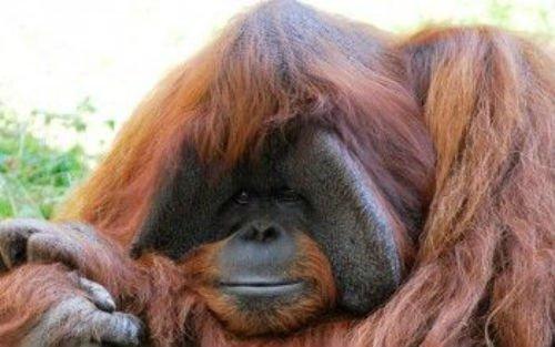 orangutan-indonesia-350x219