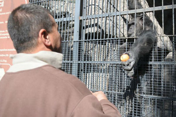 chimpancé cecilia zoo